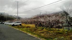 328遊歩道の桜①_R
