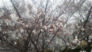 328遊歩道の桜②_R