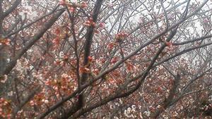 328遊歩道の桜③_R