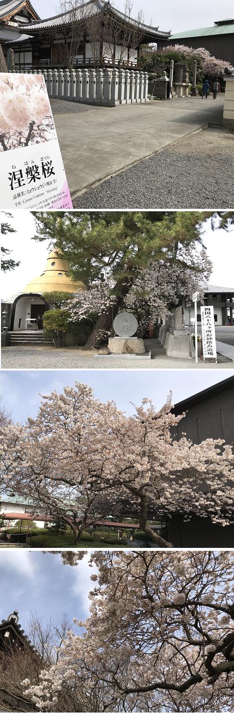 20200313涅槃桜1