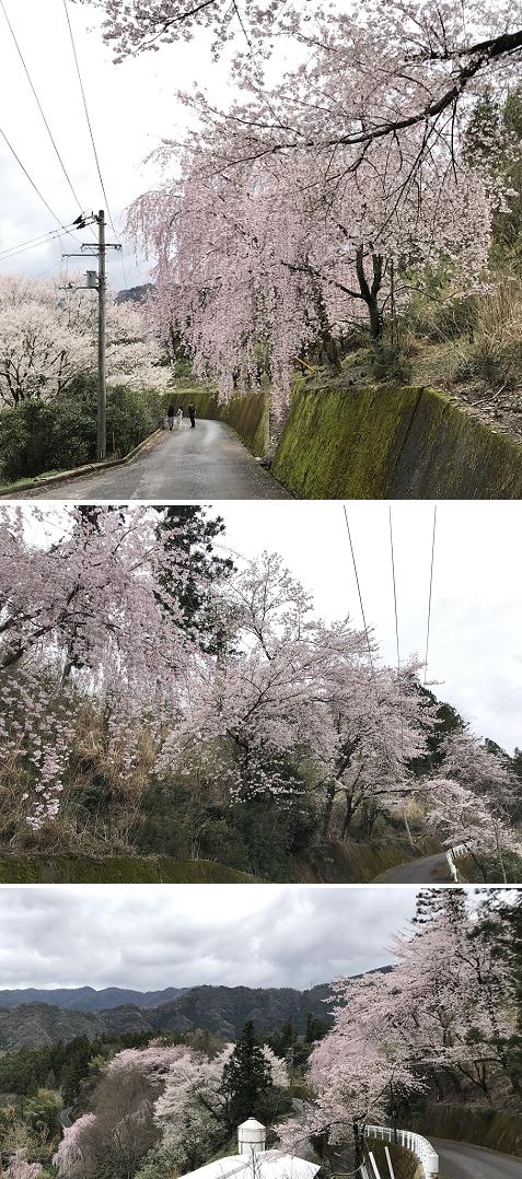 20200329吉良の桜3