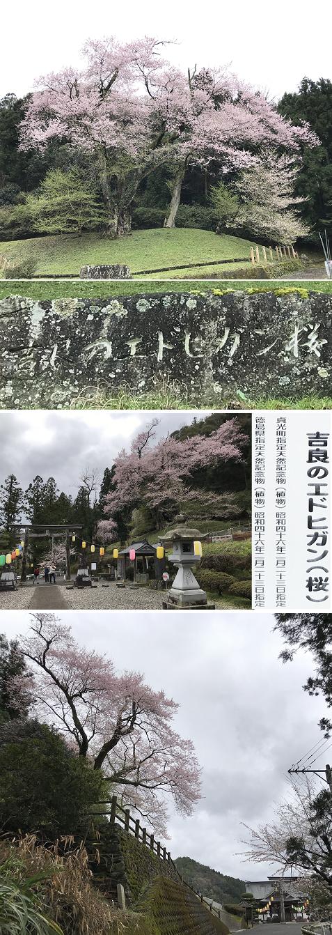 20200329吉良の桜2