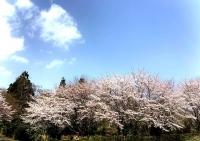 弥彦桜満開