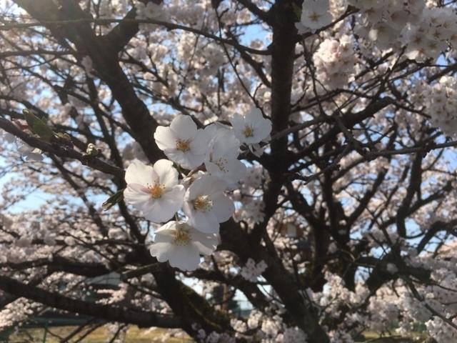 令和2年の桜_1