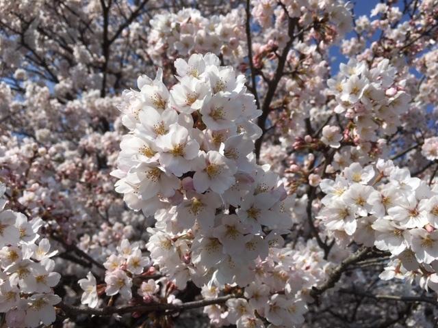 令和2年の桜_2