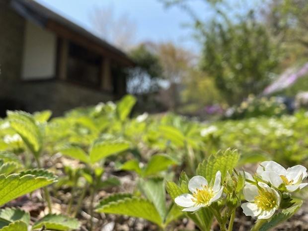 石積みの家のいちごの花