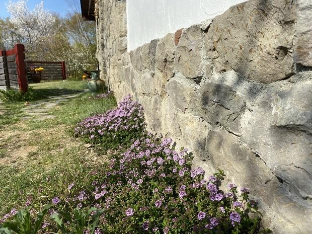 石積みの家のイブキジャコウソウ