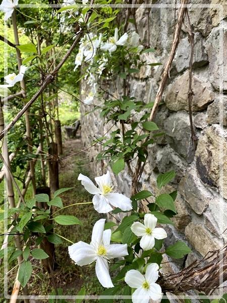 石壁とクレマチス