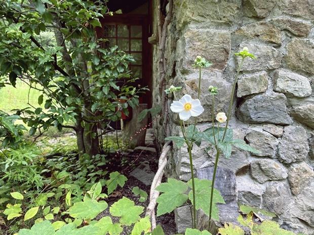 玄関アプローチの秋明菊