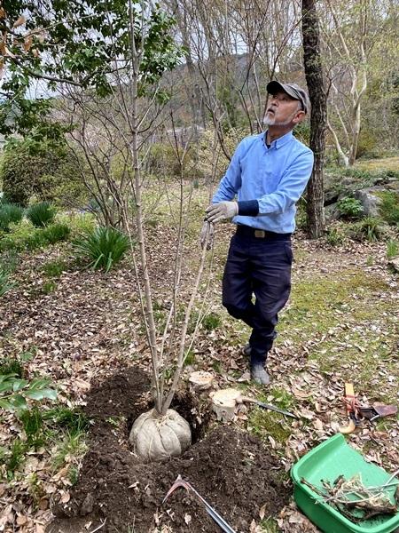メグスリノキの幼木、植栽