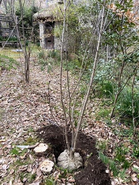 枯れてしまったメグスリノキの隣にメグスリの幼木