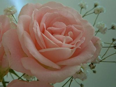 4月の薔薇ワンコイン