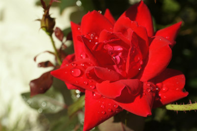 2020年9月薔薇のしずく