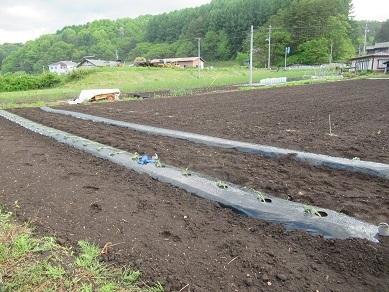 サツマイモ苗植え2