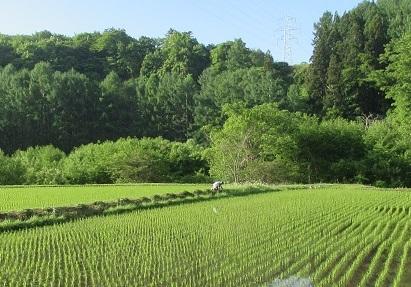 田のクロの草取り