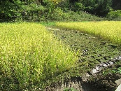 稲刈り準備 4