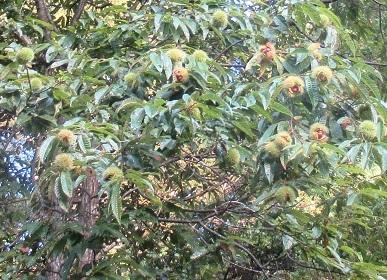 栗の木 2
