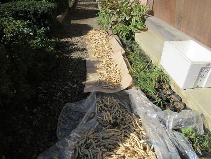 トラ豆の天日干し