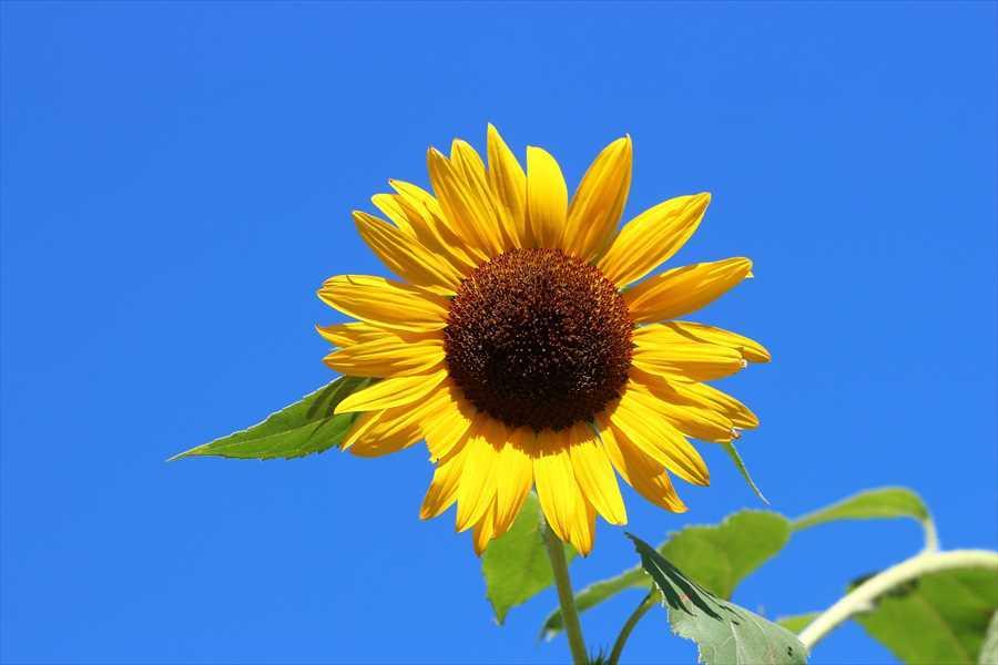 夏の青空に映える向日葵の花♪ - 安曇野 大好き!