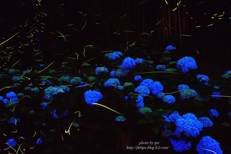 紫陽花とホタル-1(blog)