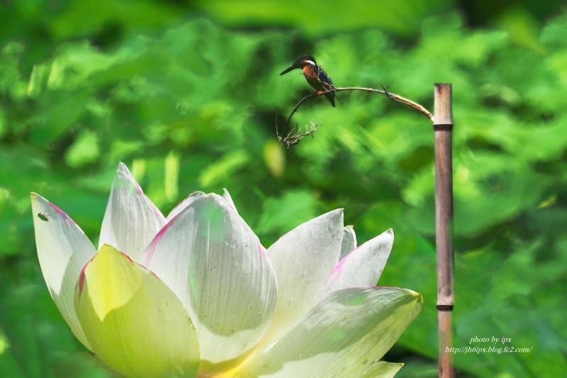蓮とカワセミ(blog)