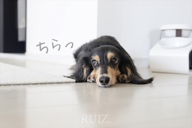 ストーカー犬のストーカー犬