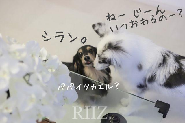 振り回される子犬