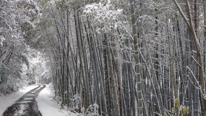 20201218雪の竹林s
