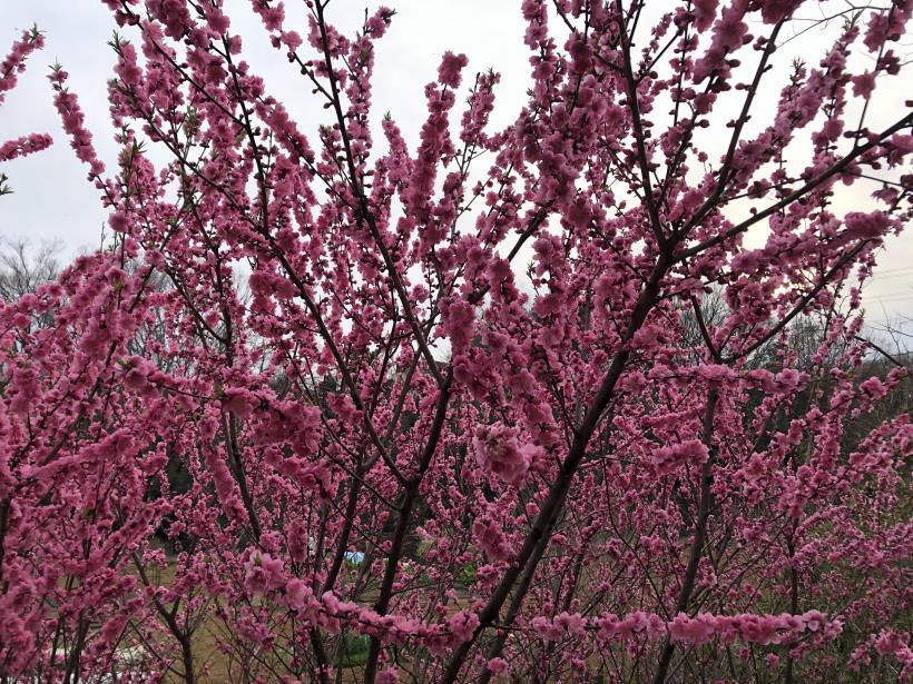 桜とブラッドオレンジ01