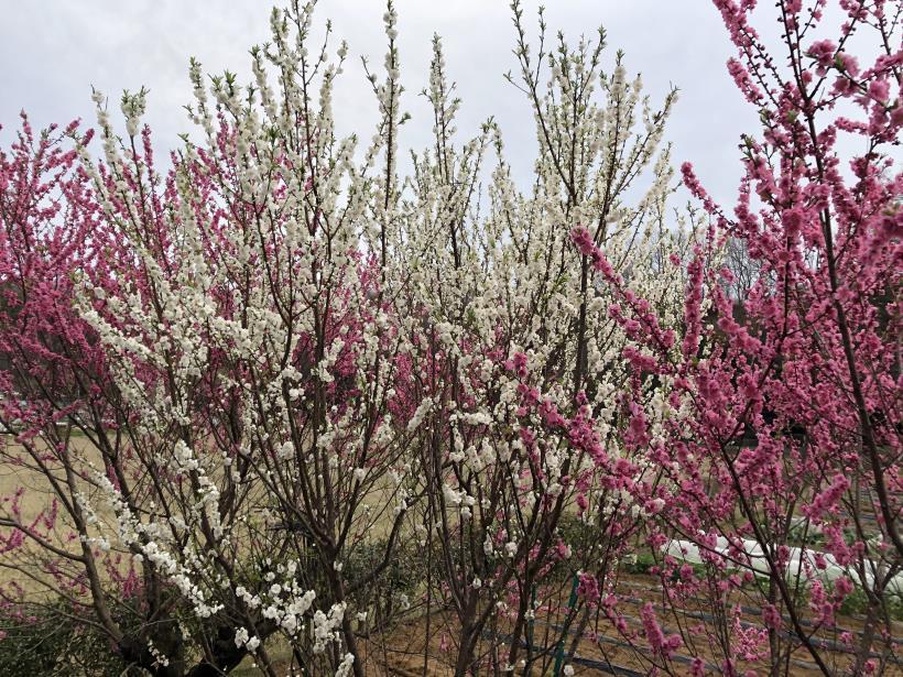 桜とブラッドオレンジ02