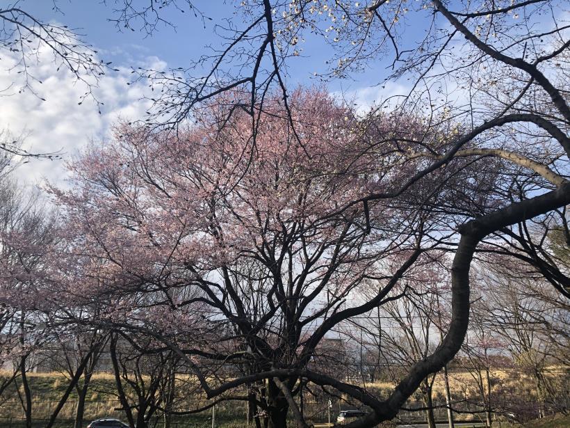 桜とブラッドオレンジ05