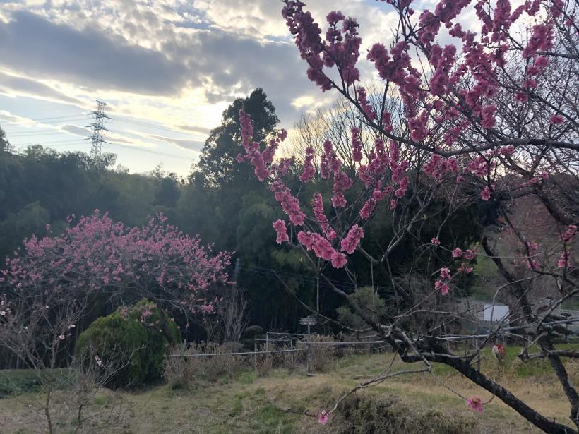 桜とブラッドオレンジ06