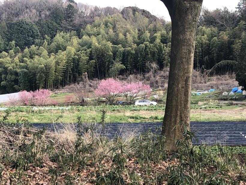 桜とブラッドオレンジ08
