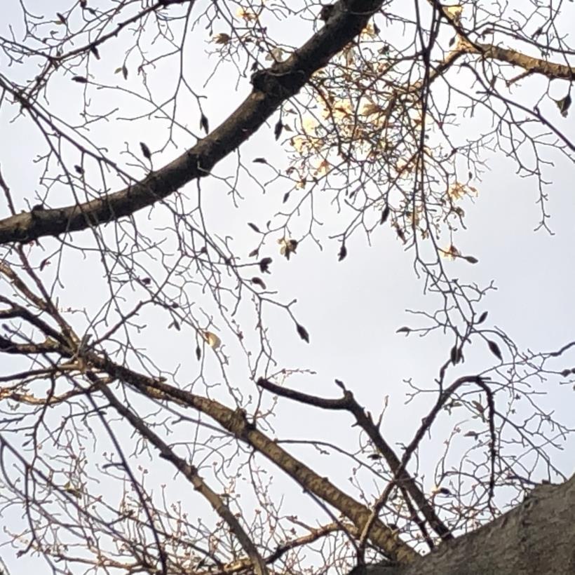桜とブラッドオレンジ10