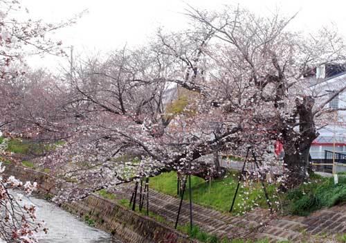 200326川路桜