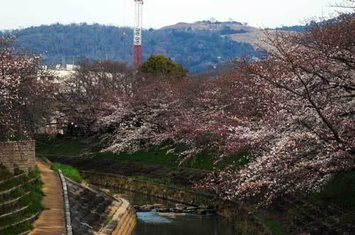 200326佐保川桜3