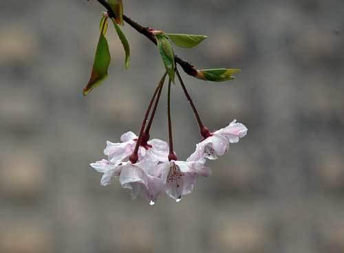 200412しだれ桜