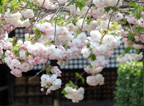 200416泉橋寺八重桜