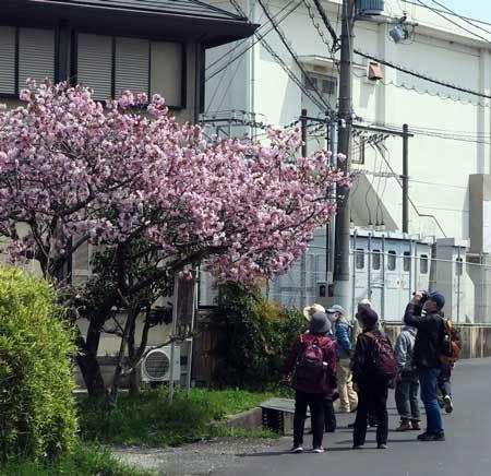 200416八重桜2