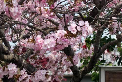 200416八重桜3