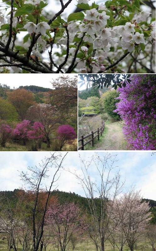 200421鳥見山公園山桜