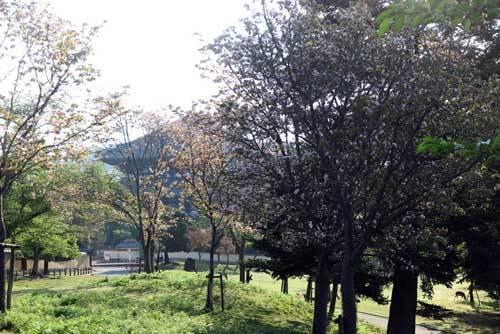 200430大仏殿とナラノヤエザクラ