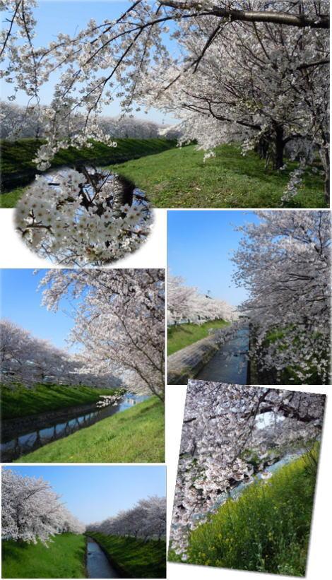 12.4.12佐保川桜