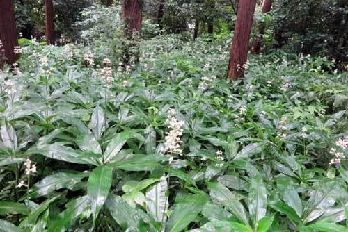 200730白い花群生