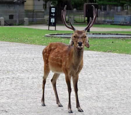 200804耳の垂れた鹿