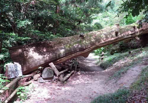 200812岩屋杉
