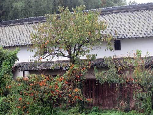 201023柿の木