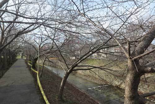 210129河津桜