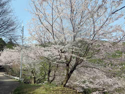210329桜