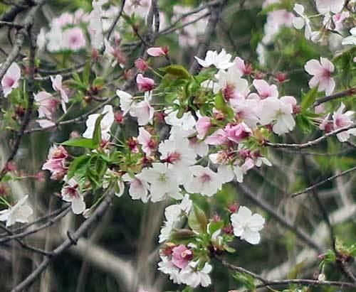 210402山桜